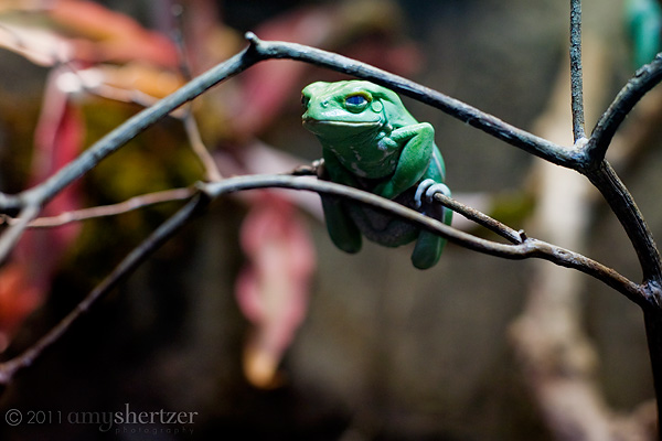 A green tree frog just hangs out.
