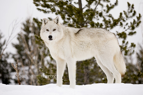 A gray wolf stands tall on a gray, snowy day.