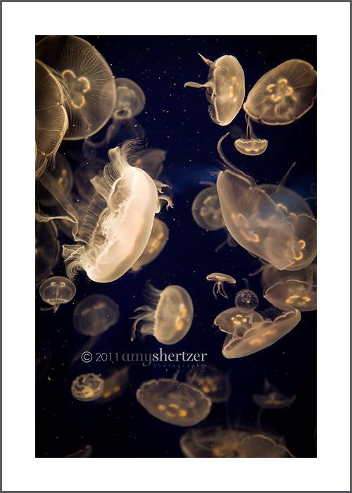 Moon jellyfish swim in dark waters.