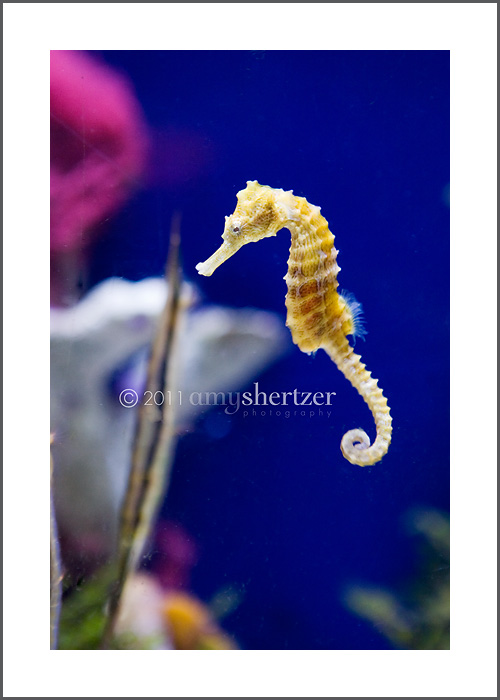 A seahorse swimming.