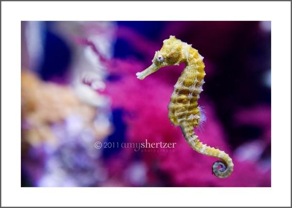 A seahorse swims in a colorful aquarium.