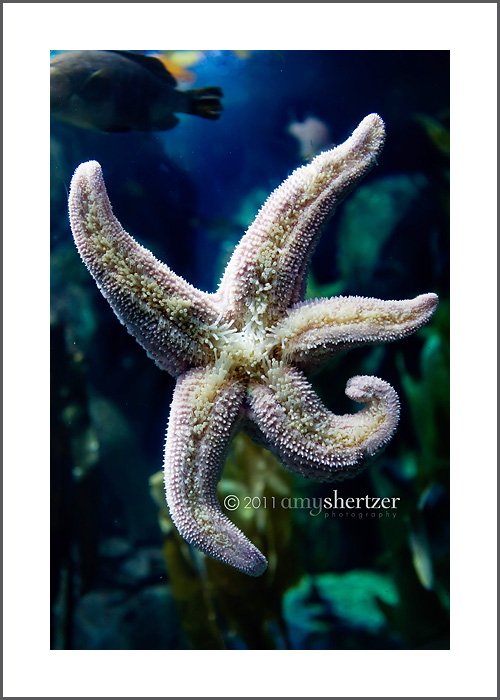 A starfish clings to the glass in its aquarium.